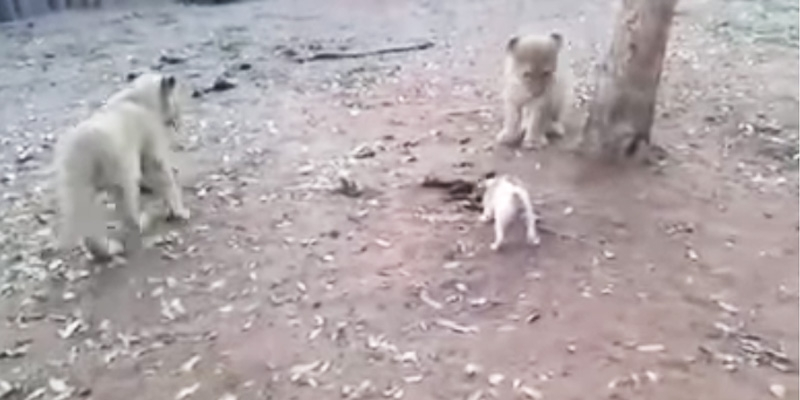Dog vs Lion