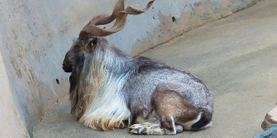 Markhor: The National Animal Of Pakistan