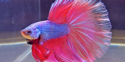 Fighter Fish Or Betta Fish