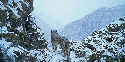 Snow Leopard  - The National Animal Of Afghanistan